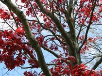 2003-05-18-red-tree-1.jpg