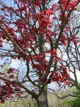 2003-05-18-red-tree-2.jpg